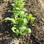 ずぼらでもできる家庭菜園:2015年秋冬野菜 -チンゲン菜、春菊、ほうれん草の間引きと、第二弾の種蒔きをしました!(9月27日)-