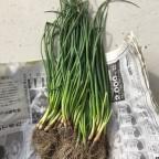 ずぼらでもできる家庭菜園:2015年秋冬野菜 -玉ねぎを植えました! ニンジン、ハクサイ、カブ、ニンニクも順調に生育しています!! (11月16日)-