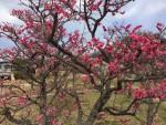 2月の京都:梅の花を楽しめる名所のご紹介 !【城南宮】【梅宮大社】など -リピーターのための、おすすめ京都の穴場ガイド-