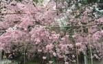 京都のおすすめ桜スポット【平野神社】のご紹介 -リピーターのための、おすすめ京都の穴場ガイド-