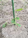 2016年5月8日:春夏野菜をすべて植え終えました! ‐ずぼらでもできる家庭菜園‐
