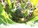 10月23日:夏野菜の収穫状況と、第2弾チンゲン菜などの間引きについて -2016年:ずぼらでもできる家庭菜園-