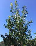 シンボルツリーとして「ソヨゴ」を植えてみました! -お勧めのショップもご紹介します-
