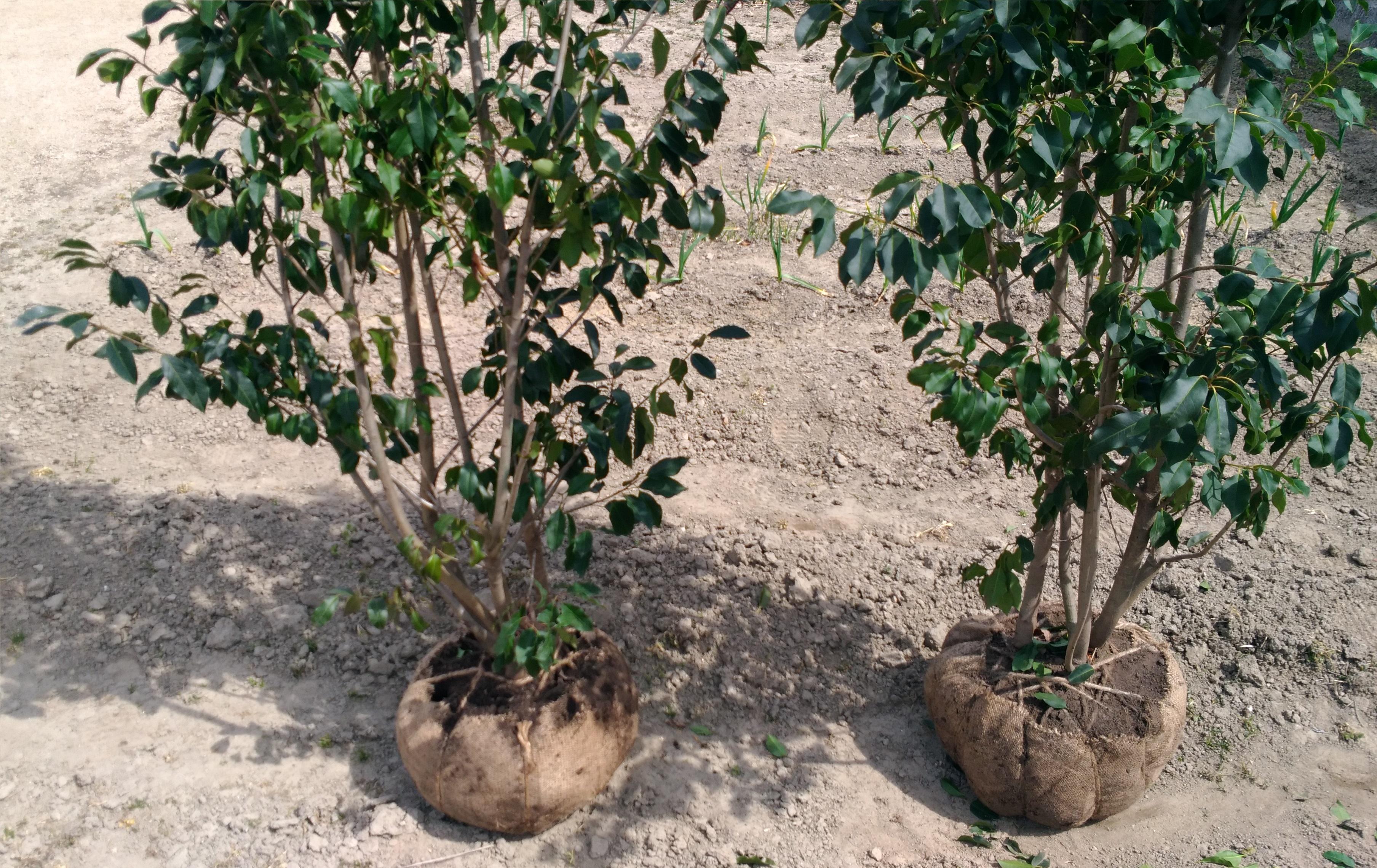 3月は植樹に適した時期です!【ソヨゴ】の追加植樹と、昨秋に植えたソヨゴの様子です!
