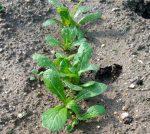 4月16日:【ニンジン】【ショウガ】等の植付けの話と、2月に植えた【ジャガイモ】【小松菜】の状況等いろいろとご紹介します! ーずぼらでもできる家庭菜園ー