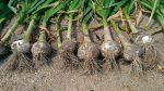 6月の家庭菜園:収穫、草取り、間引きなど、案外やることが多いのですよ!