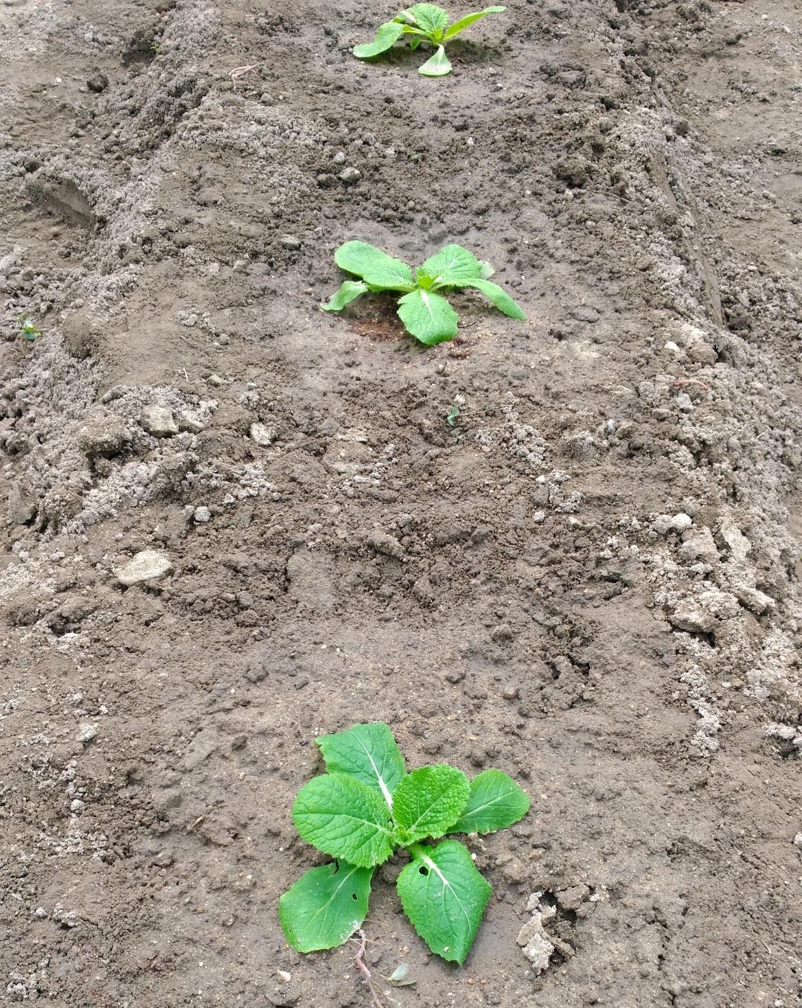 9月19日:秋冬野菜の植付けを行いました!「秋冬のおすすめ野菜」も固まってきましたね。 ーずぼらでもできる家庭菜園ー