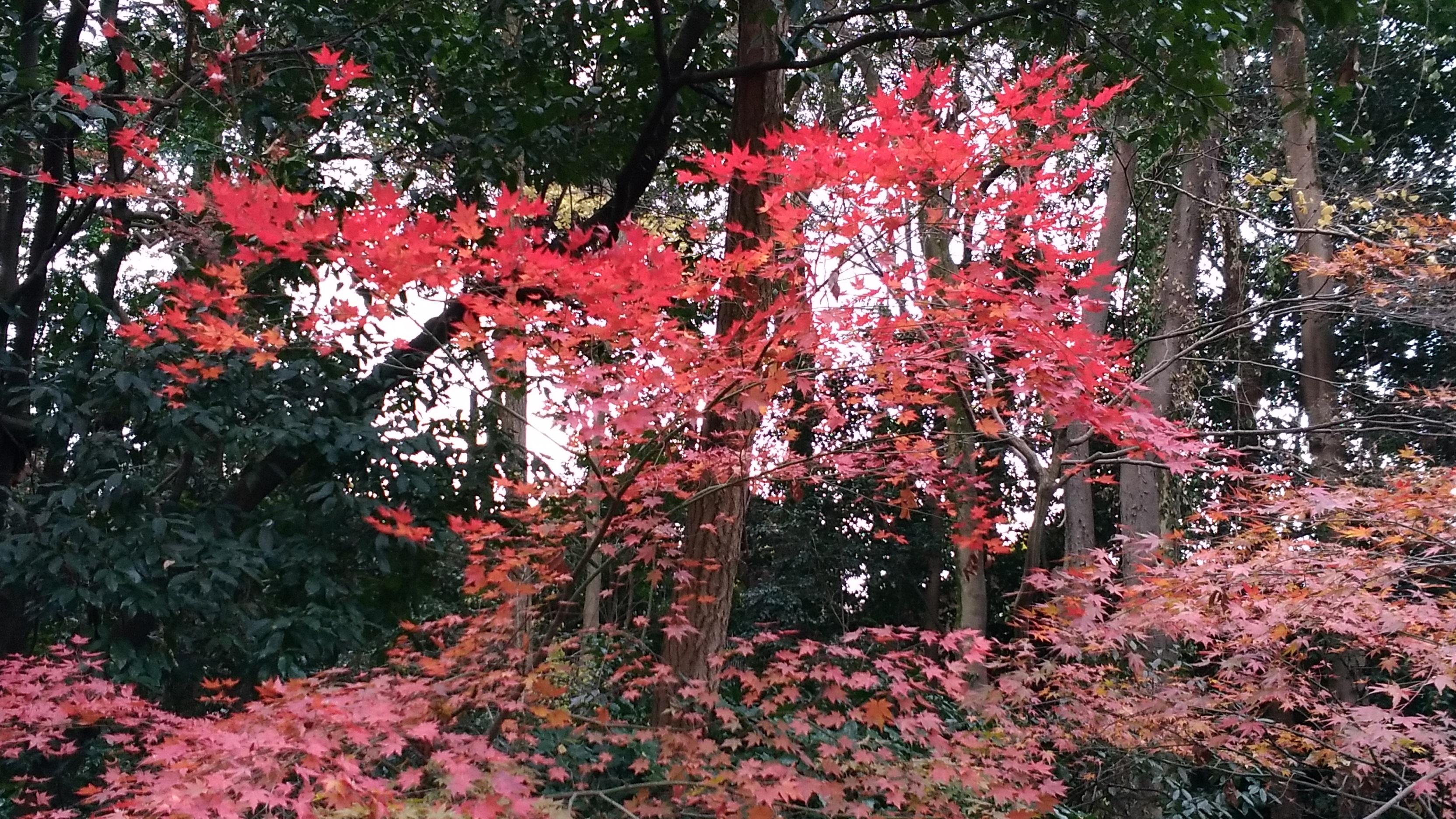 2017年「12月中旬」の紅葉の状況です:下鴨神社近くの【糺の森】では楽しめました! -リピーターのための、おすすめ京都の穴場ガイド-