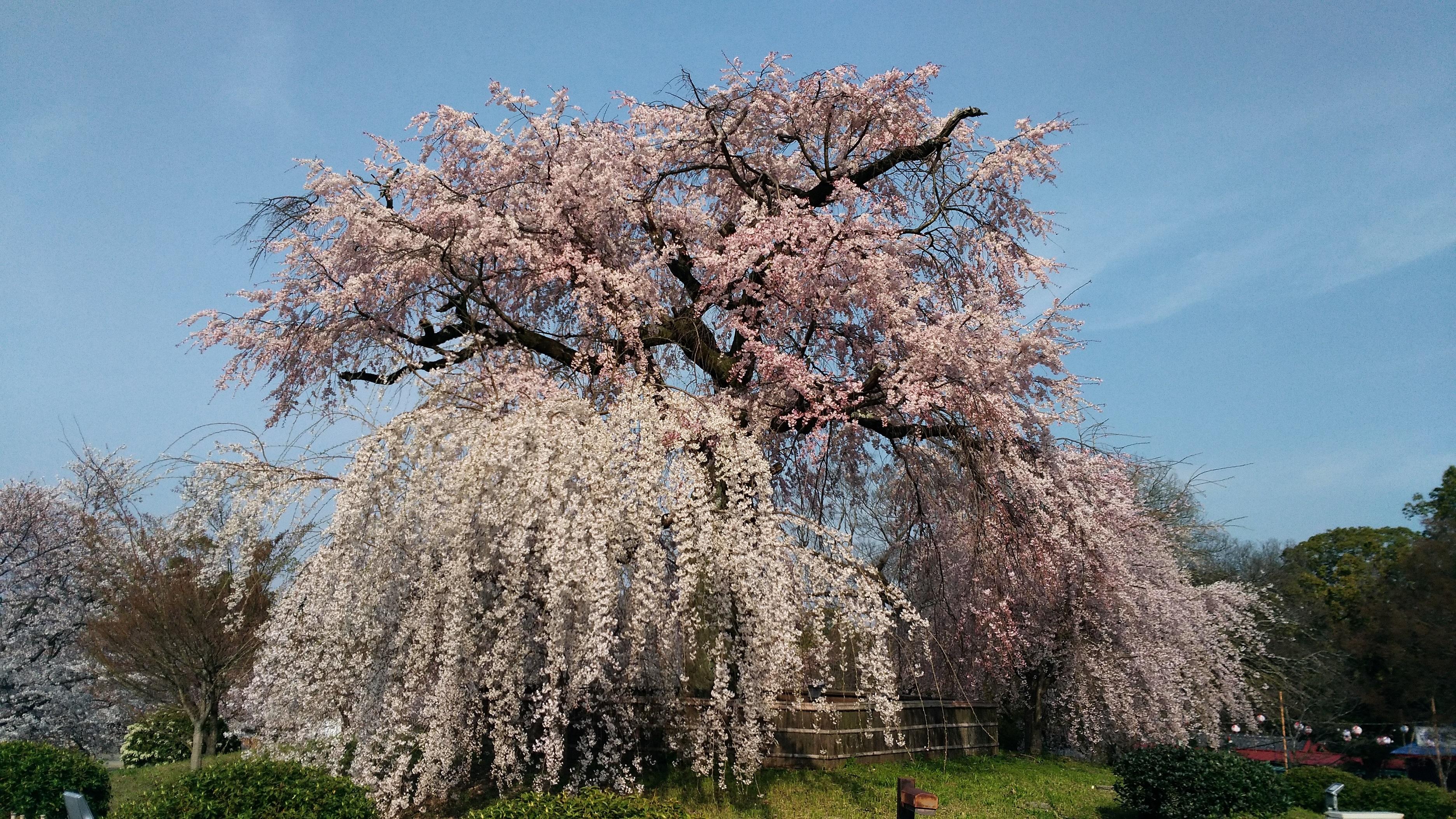 【京都:桜】の名所のご紹介です。無料で鑑賞できますよ!! -リピーターのための、おすすめ京都の穴場ガイド-