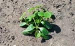 5月24日:先日植えた【オクラ】【ズッキーニ、ニンジン、小松菜、チンゲン菜(間引き)】【ジャガイモ(土寄せ)】などの様子です! -ずぼらでもできる家庭菜園-