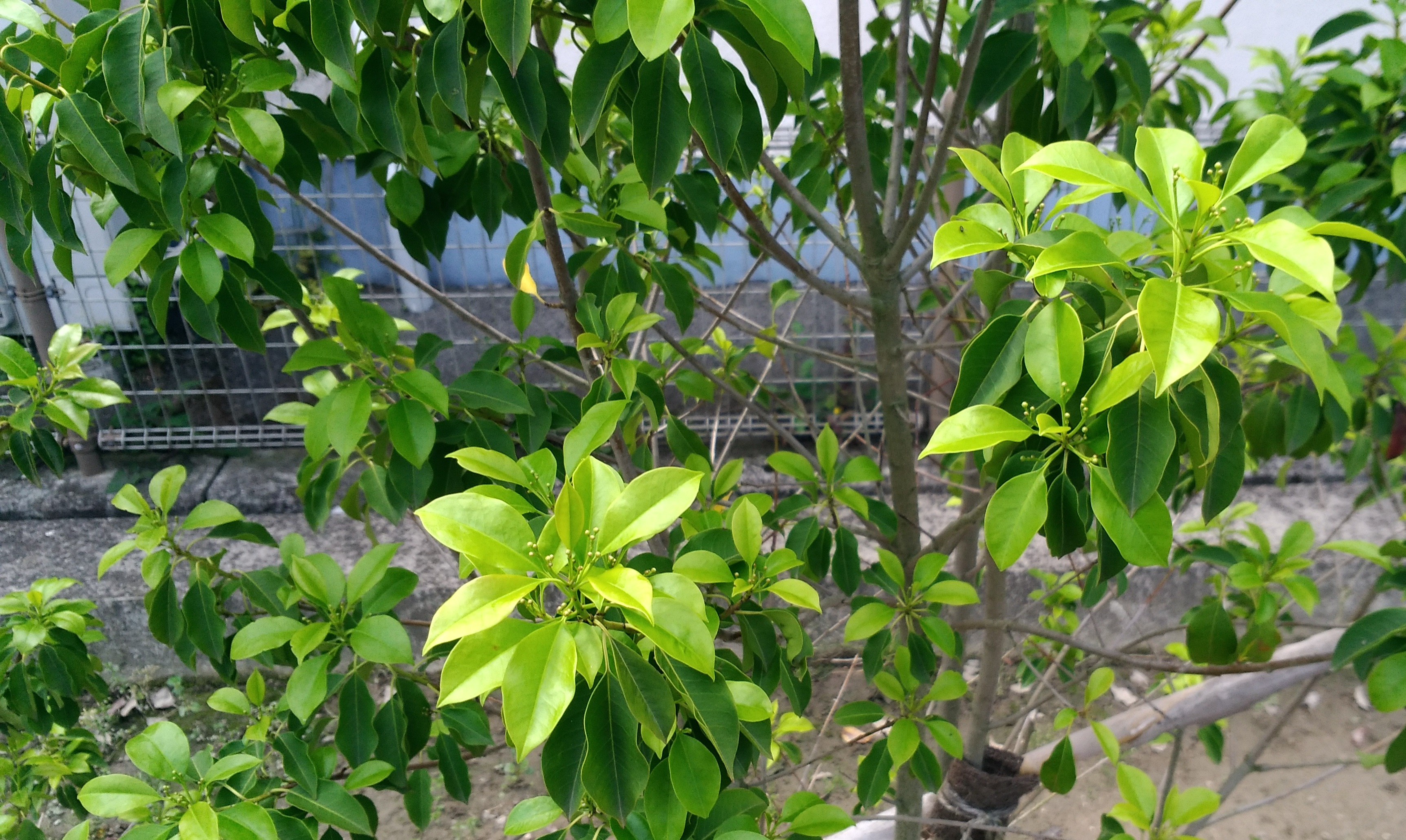 【ソヨゴ】を植えて、1年または1年半経ちました! 黄色い葉が目立つ木には「施肥」しました。