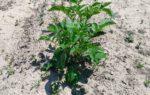 遅~い【ジャガイモの芽かき】と、ミニトマトなどの植付け、ニンジンの状況について ーずぼらでもできる家庭菜園ー