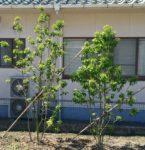 6月になり、【ソヨゴ】の木が一層元気になりました! ソヨゴの成長具合についてもご紹介します。